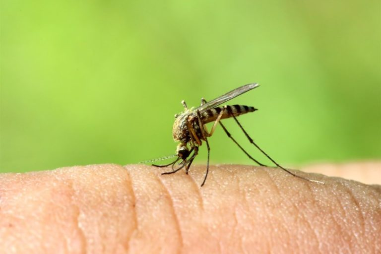 What areMosquitoes