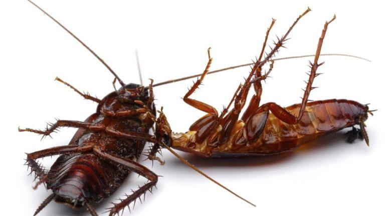 Cockroach Control Gold Coast