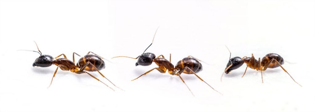 Ant Removal Gladstone